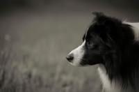 Picture of black and white border collie, profile
