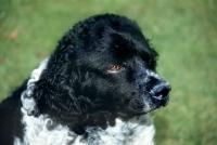 Picture of black and white wetterhound,  portrait