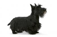 Picture of black Australian Champion Scottish Terrier, side view