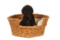 Picture of black Bedlington Terrier puppy in basket