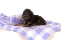 Picture of black Bedlington Terrier puppy lying down on blanket