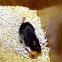 Picture of black berkshire pet rat on bedding eating carrot