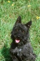 Picture of black Bouvier des Ardennes portrait