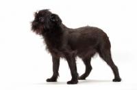 Picture of black Griffon Bruxellois