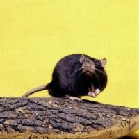 Picture of black irish pet rat looking curious