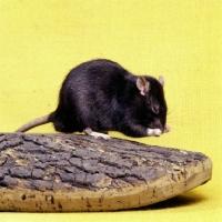 Picture of black irish pet rat washing
