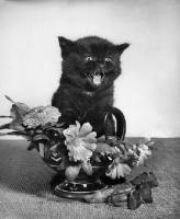 Picture of black kitten amongst flowers, mouth open
