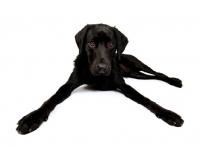 Picture of Black Labrador lying in the studio, legs spread wide