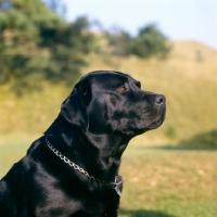 Picture of black labrador portrait