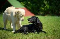 Picture of black Labrador retriever and golden retriever making friends
