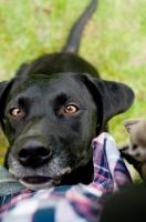 Picture of black Labrador Retriever begging