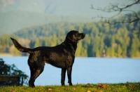 Picture of black Labrador Retriever in beautiful landscape
