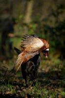 Picture of black labrador retriever retrieving pheasant in a field