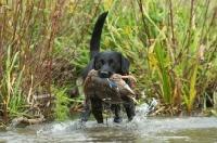 Picture of black Labrador Retriever retrieving duck
