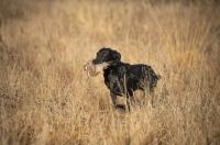 Picture of black labrador retriever retrieving quail in a field