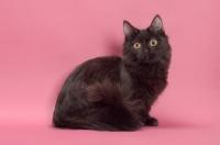 Picture of black longhair Munchkin sitting in studio