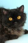 Picture of black longhair selkirk rex portrait