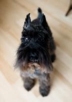 Picture of Black Miniature Schnauzer on hardwood floor.