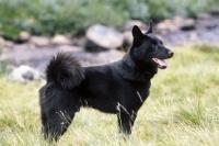 Picture of black Norwegian Elkhound