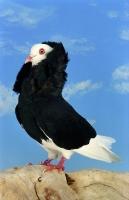 Picture of black Old Dutch Capuchione pigeon