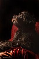 Picture of black Portuguese Water Dog in studio