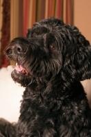 Picture of black Portuguese Water Dog portrait