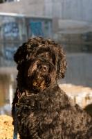 Picture of black Portuguese Water Dog, portrait