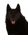 Picture of black Schipperke