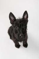 Picture of Black Scottish Terrier puppy in studio.
