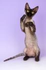 Picture of black smoke devon rex kitten on hind legs