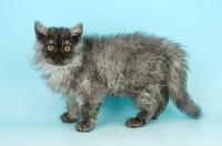 Picture of black smoke selkirk rex kitten on blue background