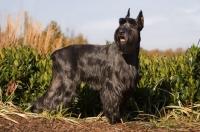 Picture of black Standard Schnauzer in field