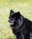 Picture of black Swedish Lapphund