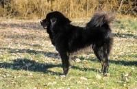 Picture of black Tibetan Mastiff