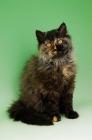 Picture of black tortie selkirk rex cat