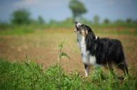 Picture of black tri color australian shepherd barking, natural environment