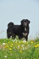 Picture of black Wetterhound near flowers