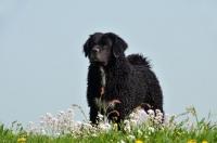 Picture of black Wetterhound