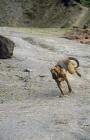 Picture of bloodhound, ch barsheen magnus (mag), running full tilt