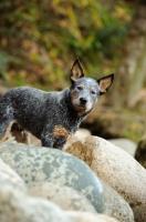 Picture of blue Australian Cattle Dog amongst rocks