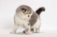 Picture of Blue Classic Tabby & White Scottish Fold kitten