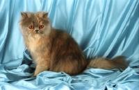 Picture of blue cream persian kitten