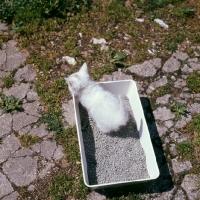 Picture of blue eyed white long hair kitten on litter tray