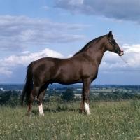 Picture of Blue Halo, Arab stallion UK full body