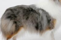 Picture of blue merle coloured Shetland Sheepdog