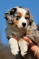 Picture of Blue merle Miniature Australian Shepherd puppy
