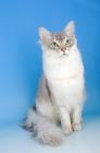 Picture of blue silver tiffanie cat