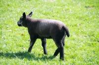 Picture of blue Texel lamb (aka Texelaar)