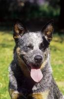 Picture of blue tick Australian Cattle Dog, portrait