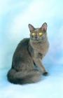 Picture of blue tiffanie cat